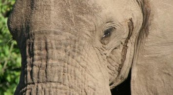 Out in Africa - Olifant close-up