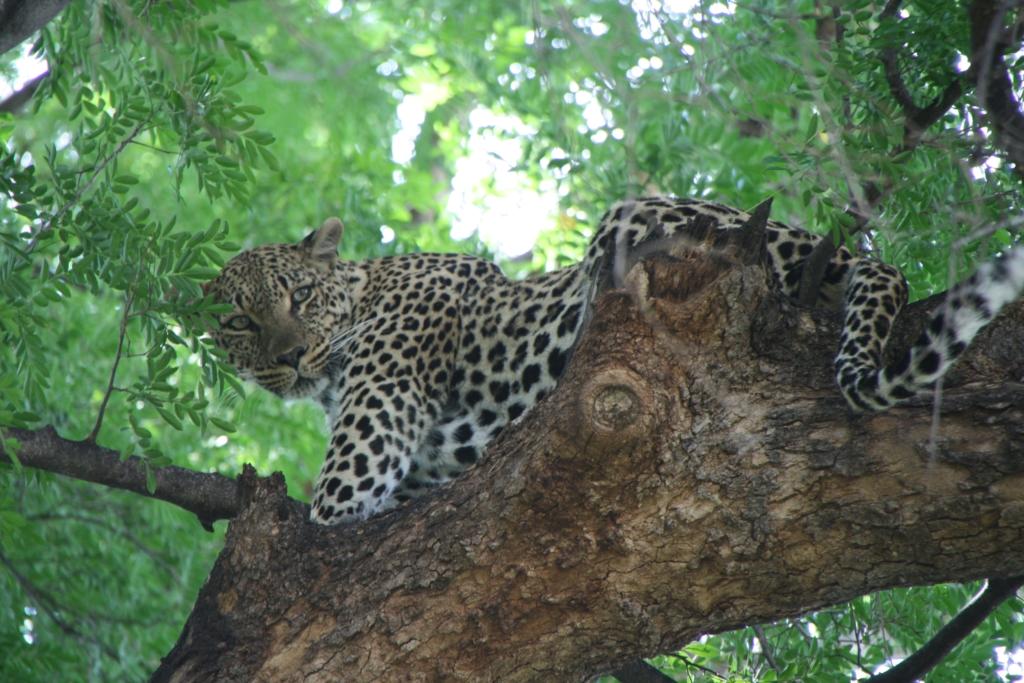 Luipaard Afrika