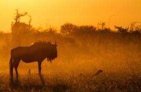 Callaerts - Gnoe silhouet zonsondergang