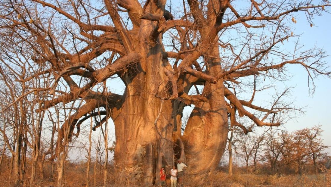 Planet Baobab - Enorme baobab boom
