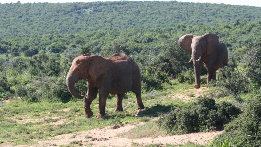 Addo Elephant National Park - olifanten