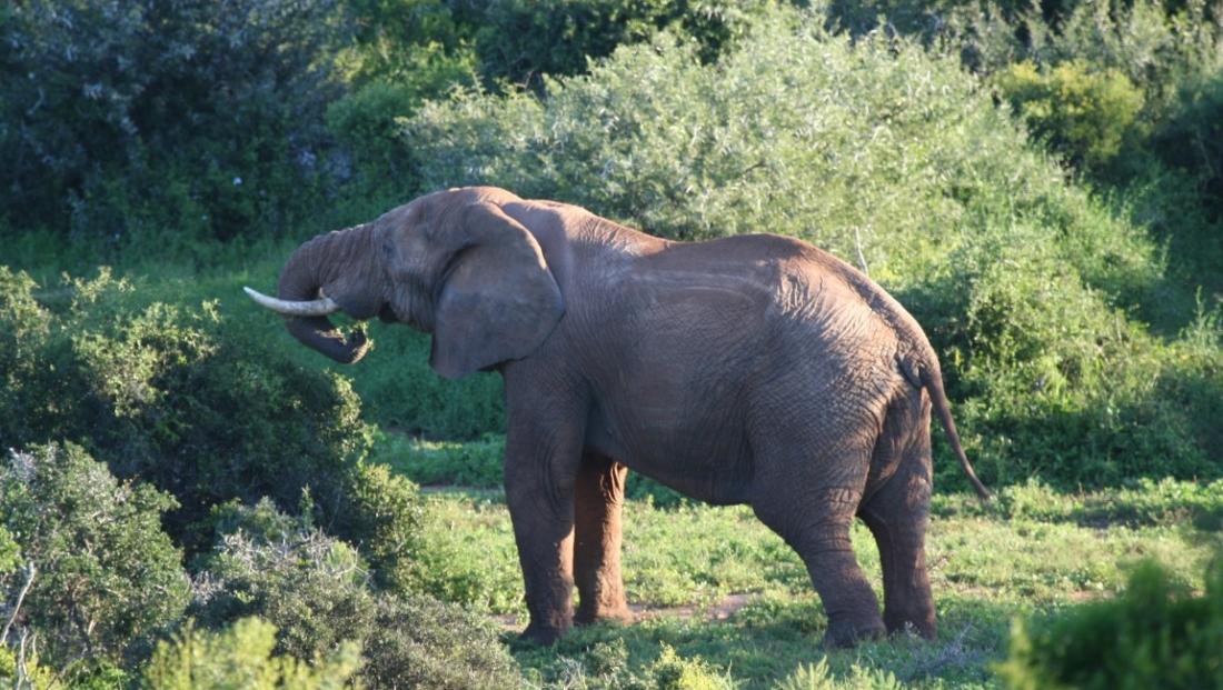 Addo Elephant National Park - olifant