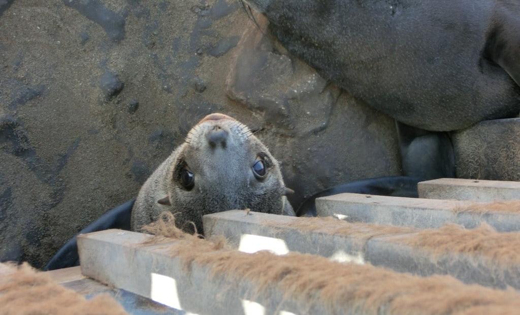 Cape Cross - Pelsrob onder looppad kijkt omhoog