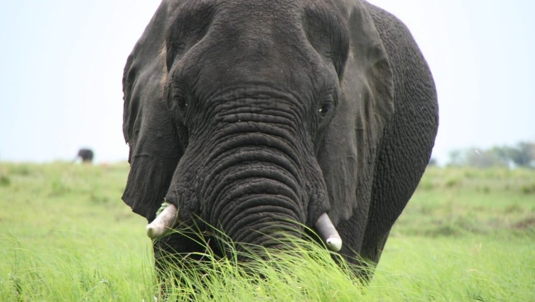 Caprivistrip - Olifant in het gras close-up