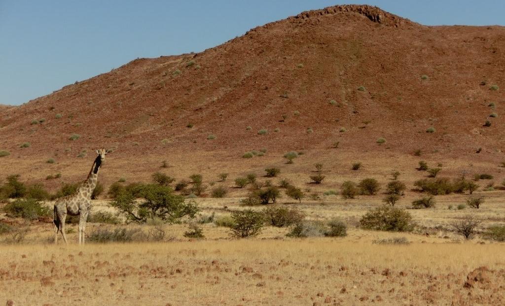 Damaraland - Giraffe met berg op de achtergrond