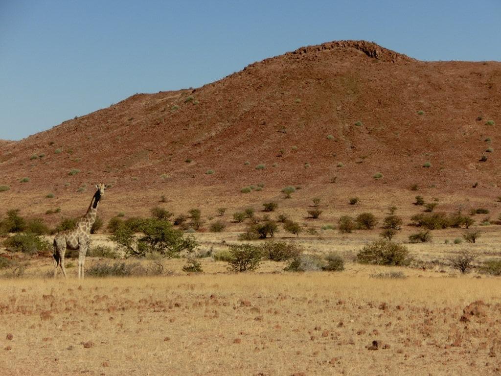 Rondreizen Namibië + Botswana - Giraffe in Damaraland