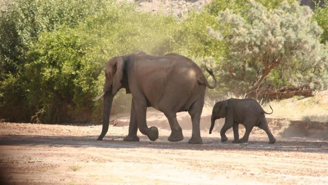 Damaraland - Woestijnolifant met jong