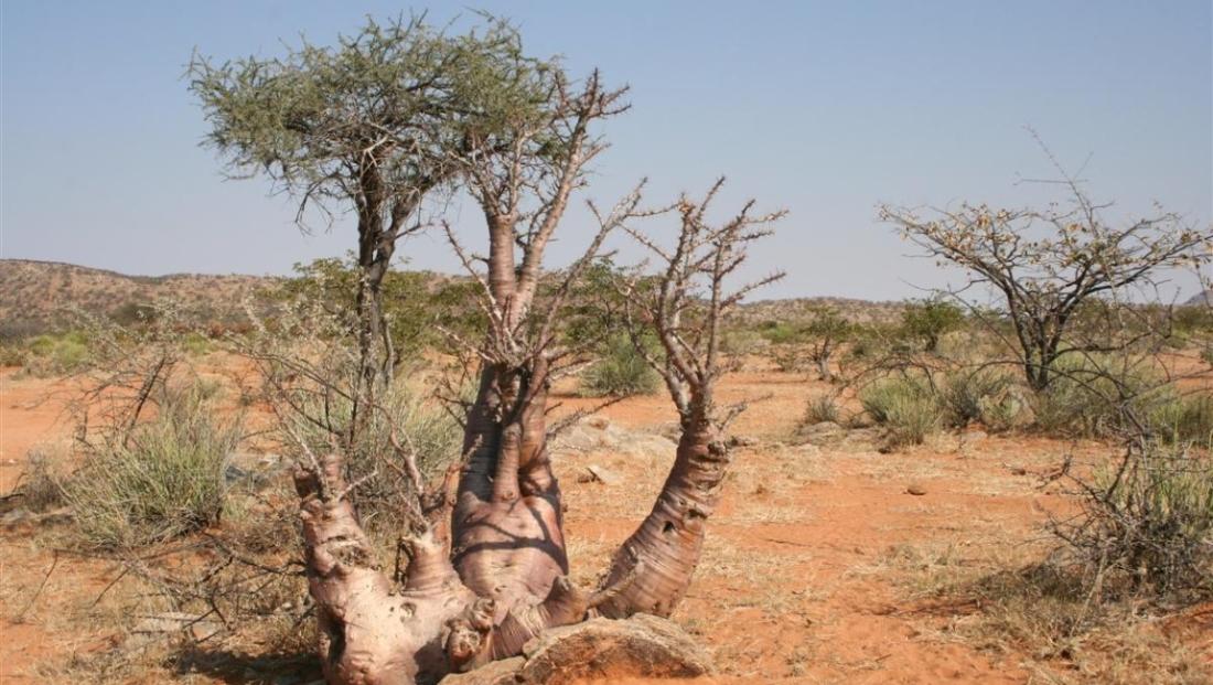 Damaraland - Hier en daar bomen in het landschap