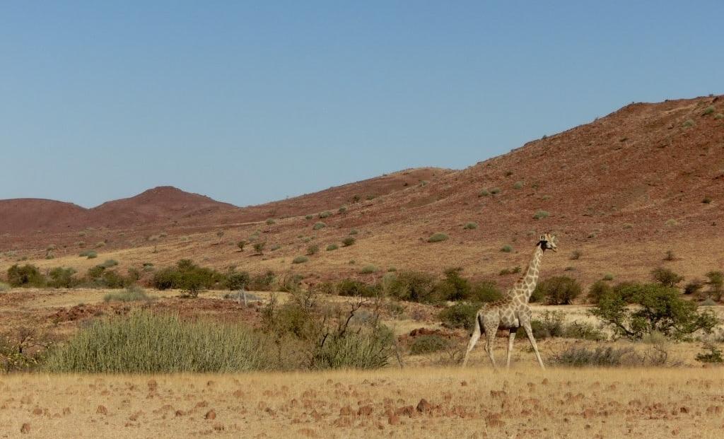 Damaraland - Giraffe