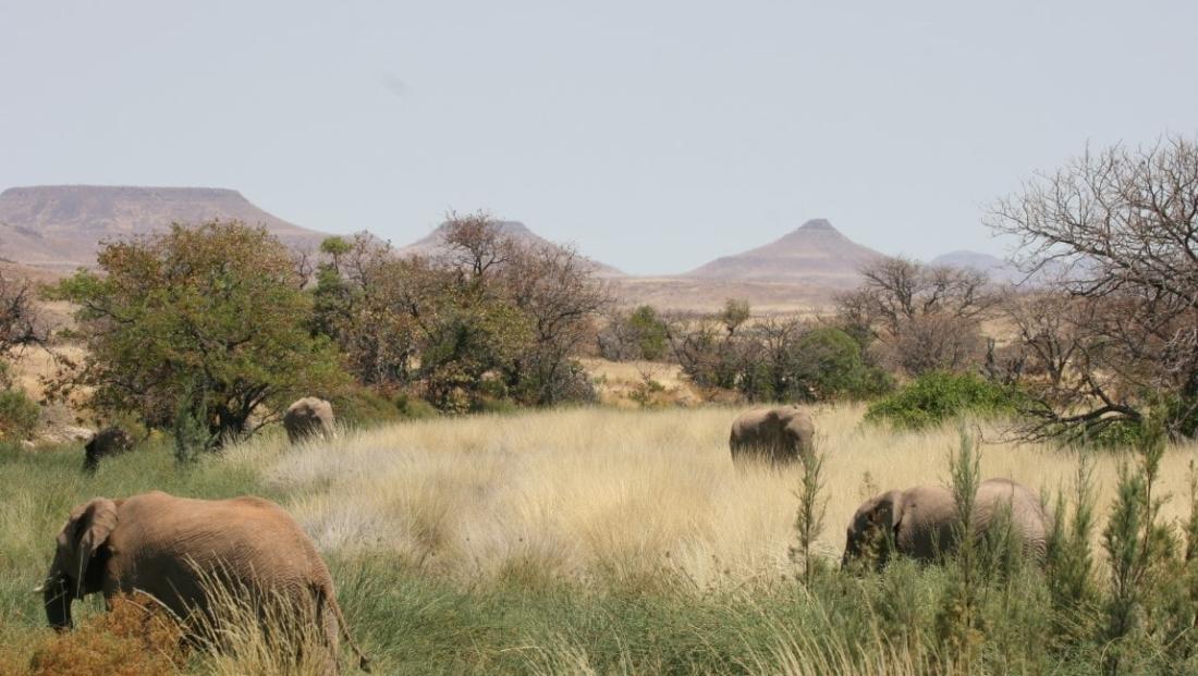 Damaraland - Woestijnolifanten in het hoge gras