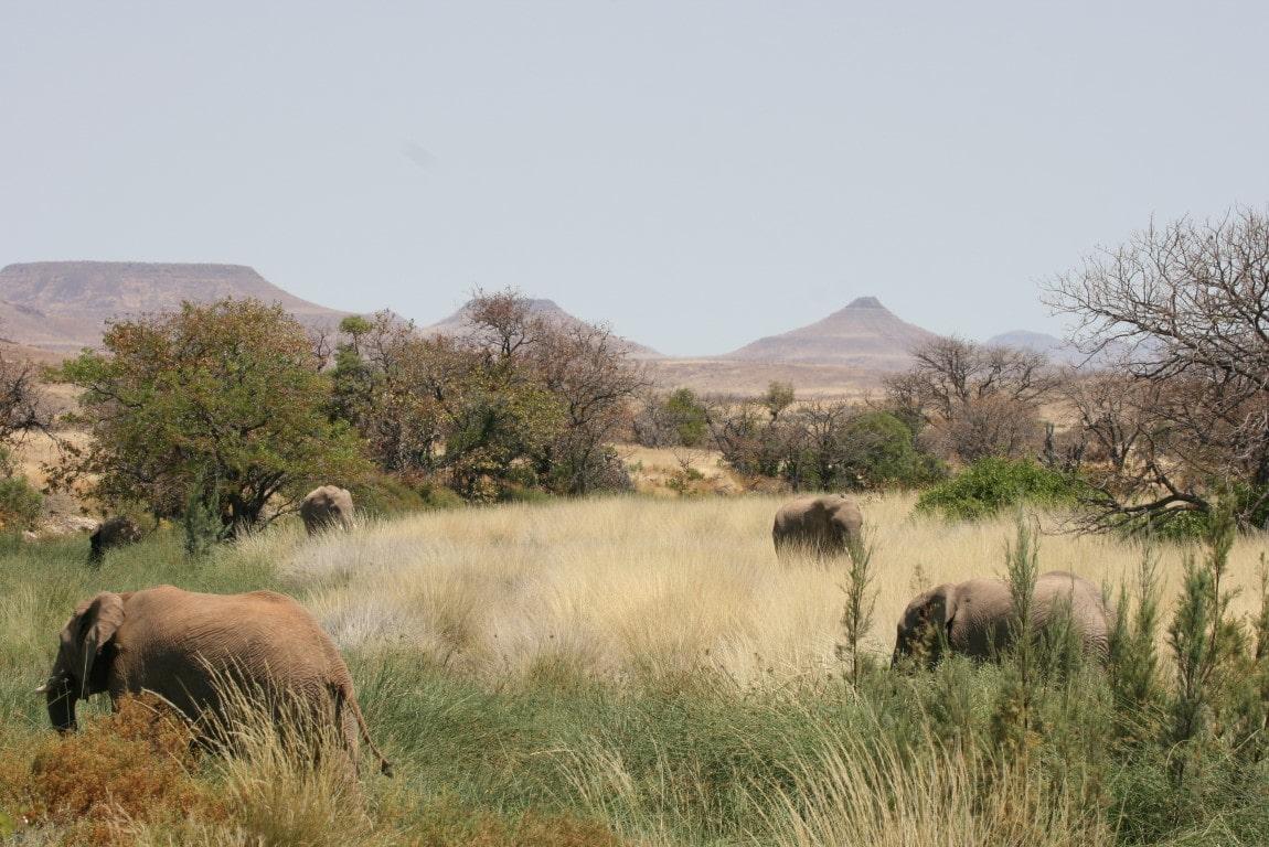 Safari reizen Namibië - Tijdens een wildrit door Damaraland kunt u woestijnolifanten zien.