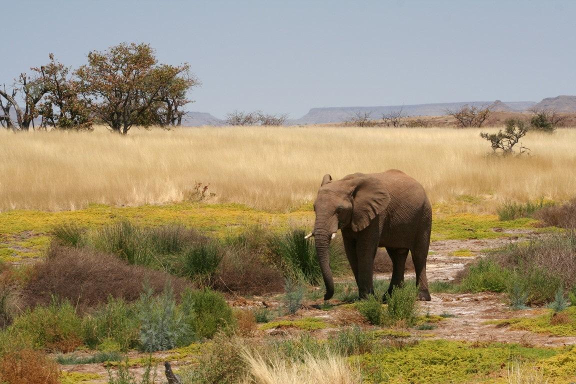 Damaraland - Woestijnolifant