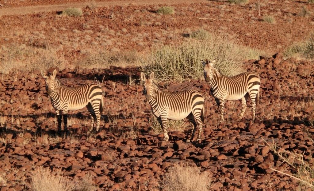Damaraland - Zebra's