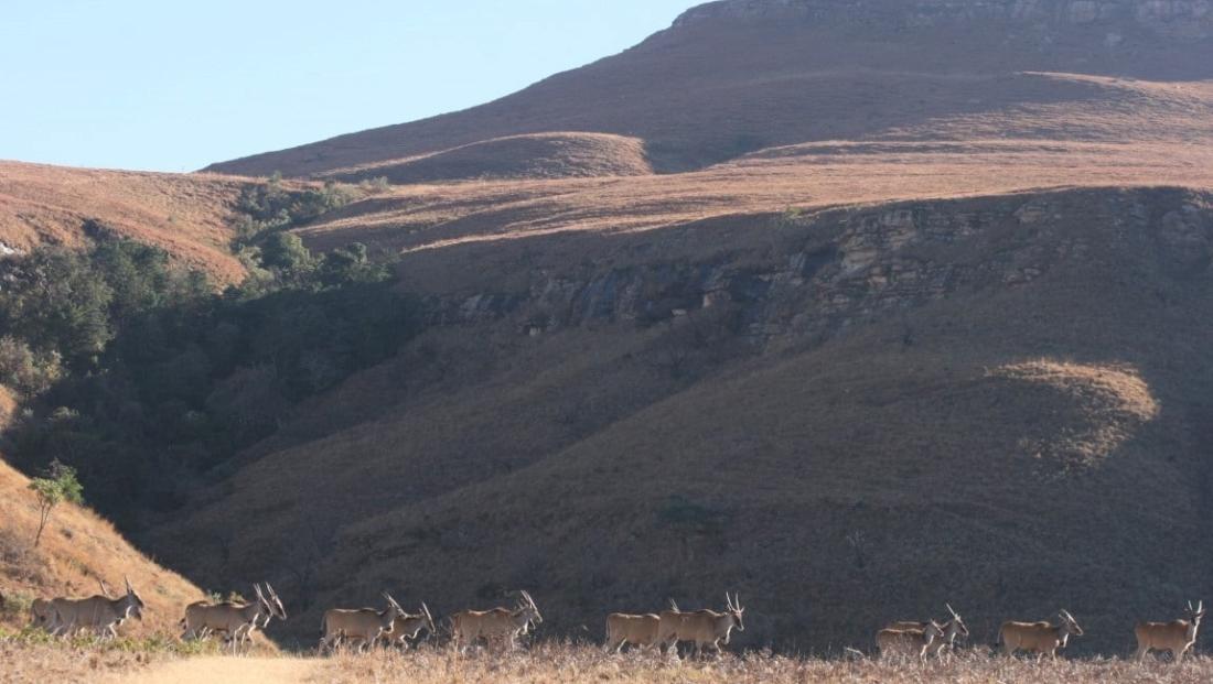 Drakensbergen - bokken