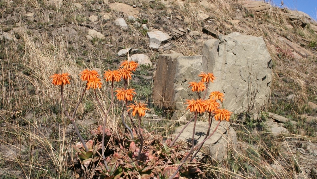 Drakensbergen - bloemen