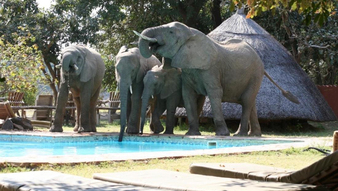 Flatdogs - olifanten bij het zwembad