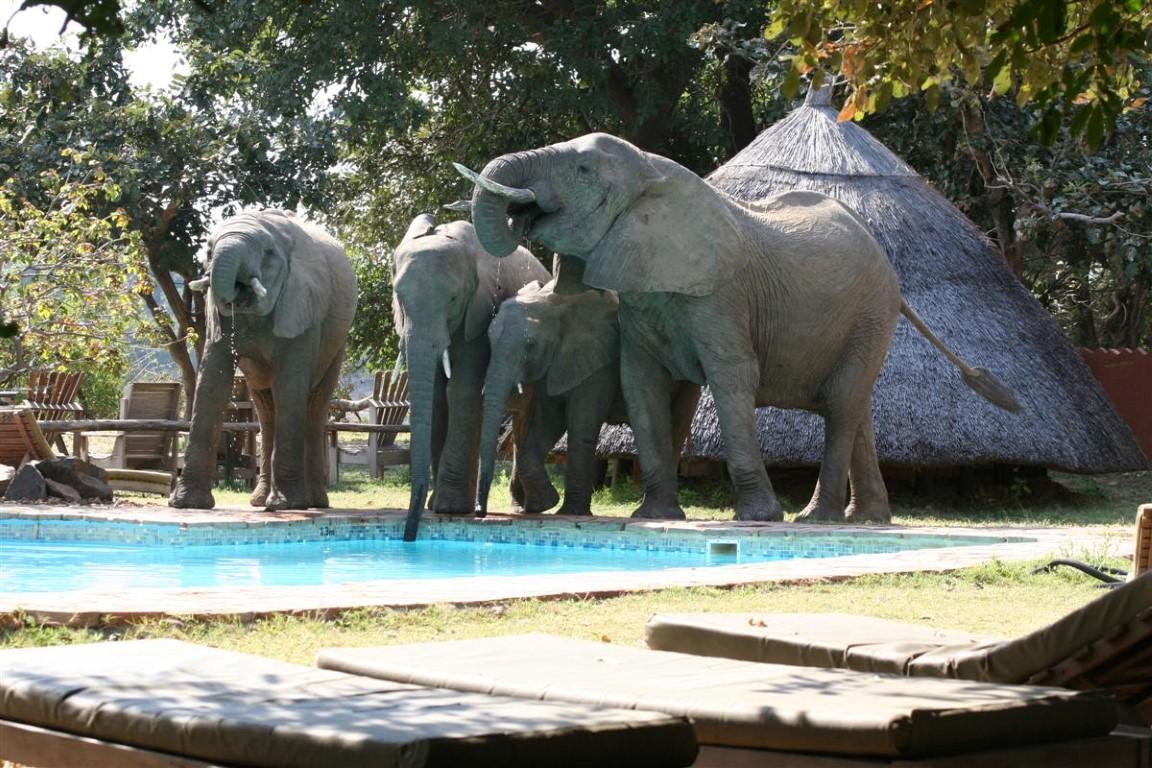Safari Reizen Zambia - Olifanten drinken uit het zwembad bij Flatdogs Camp