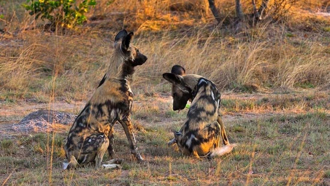 Hippo Lodge - wilde honden