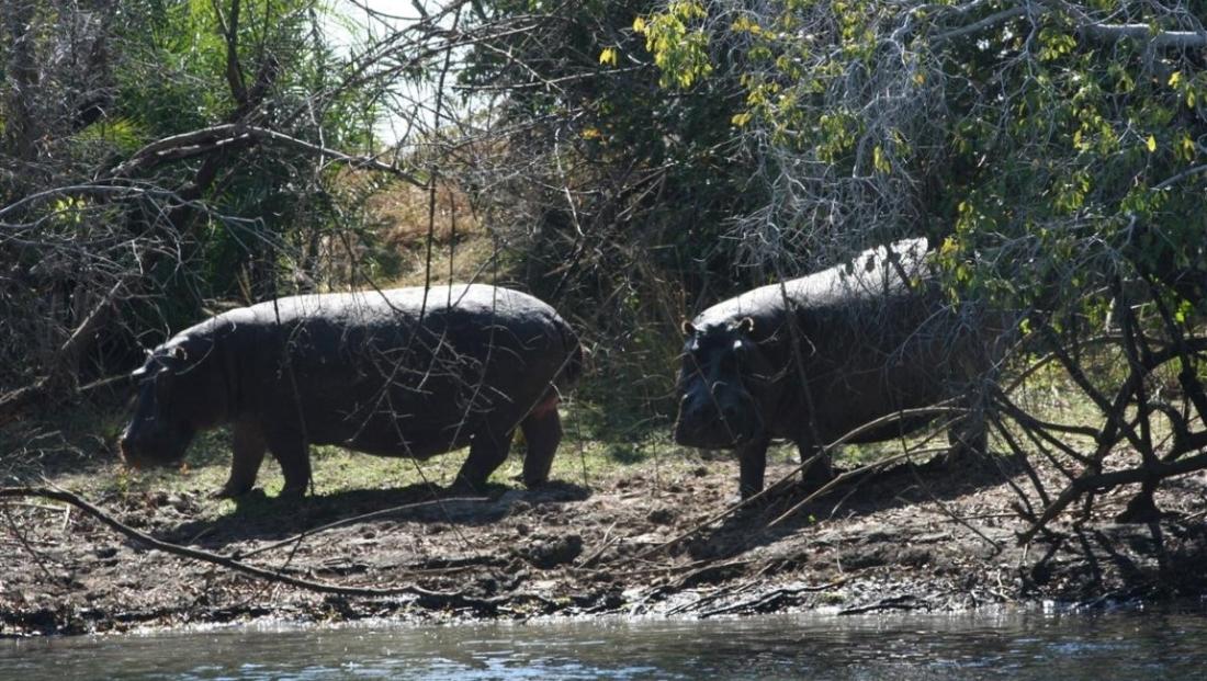 Kafue National Park - nijlpaarden op land