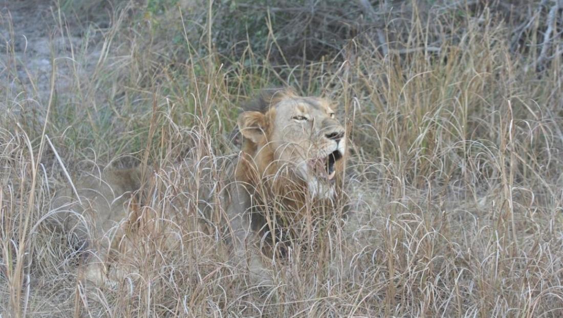 Kafue National Park - leeuw