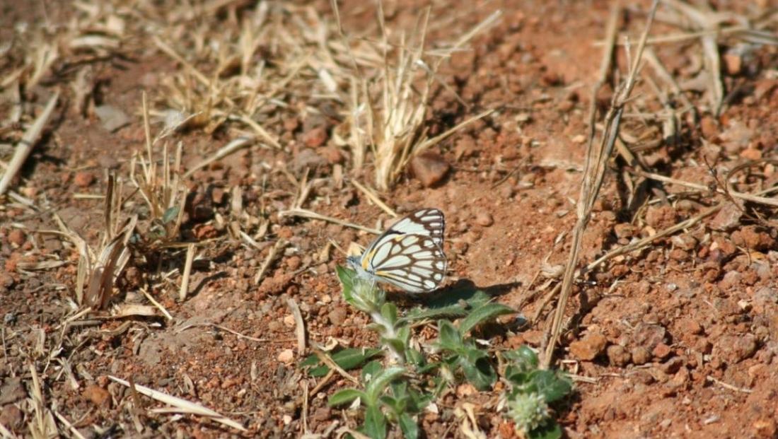 Kafue National Park - vlinder