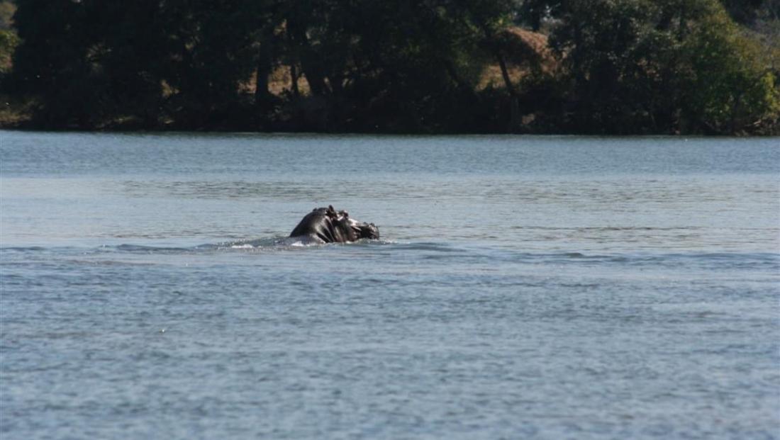 Kafue National Park - nijlpaard