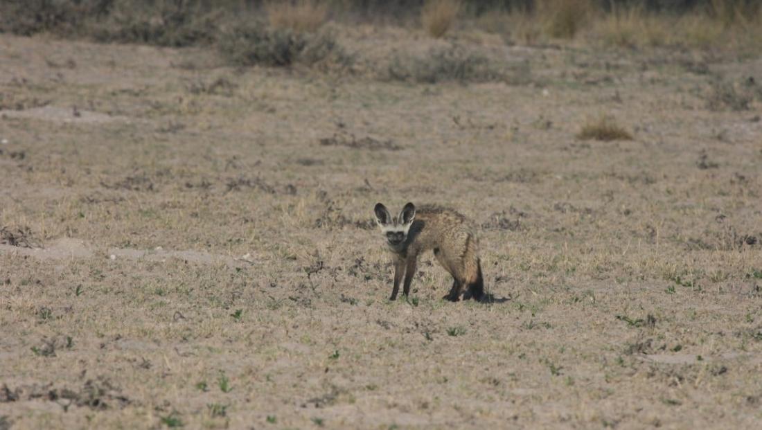 Kalahari - Bat-eared fox