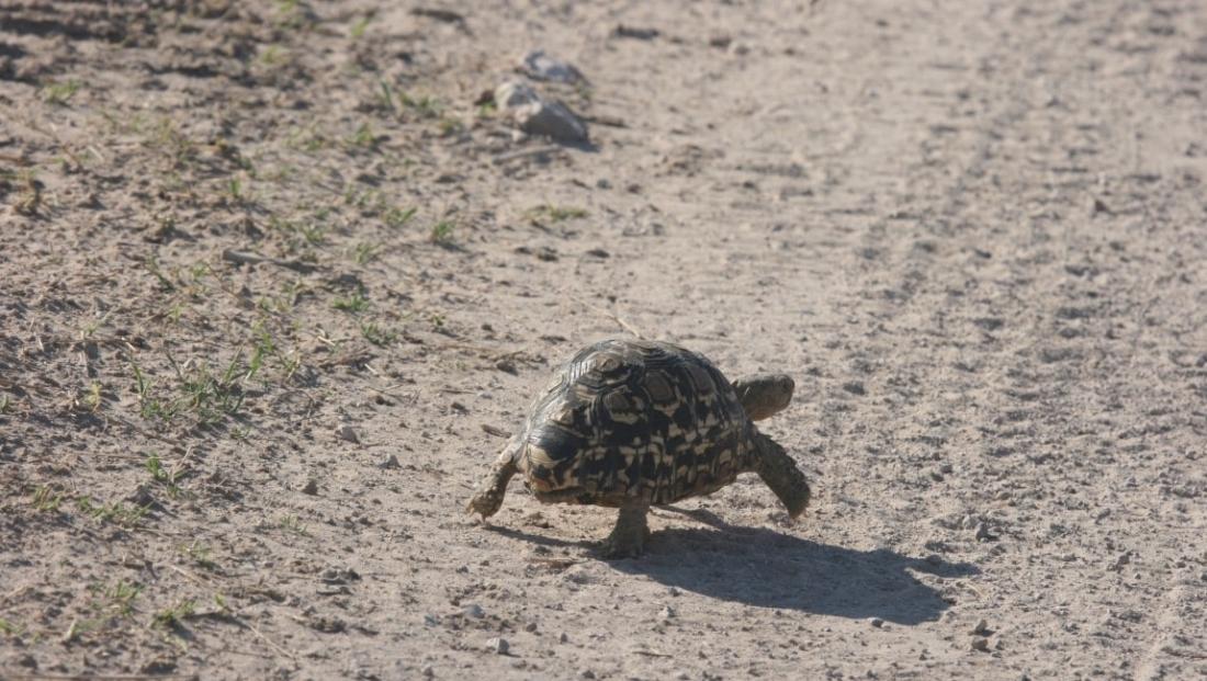 Kalahari - Leopard tortoise