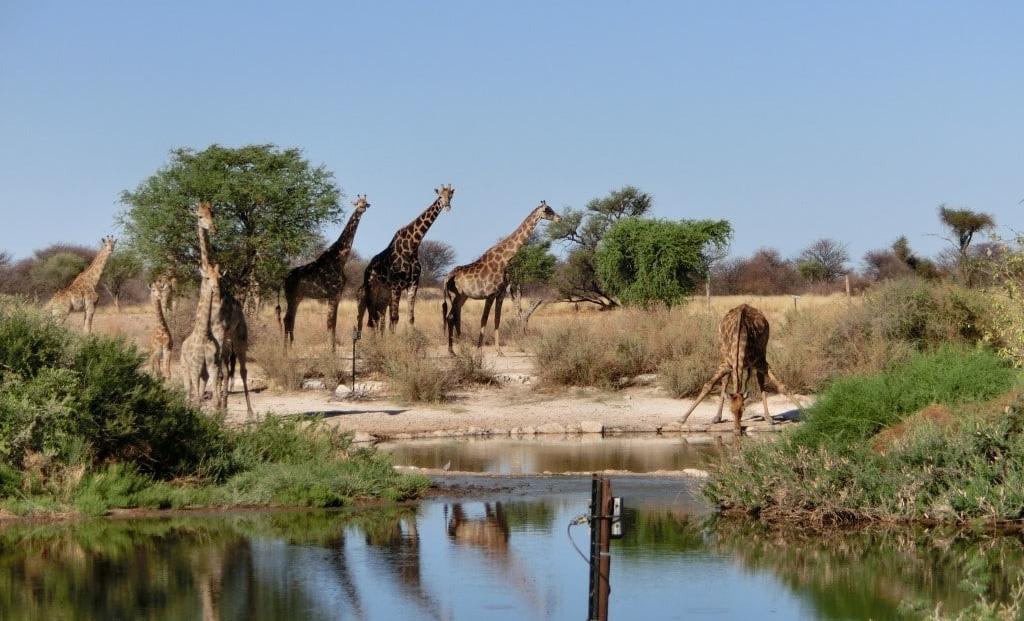 Kalahari - Giraffen bij drinkplaats