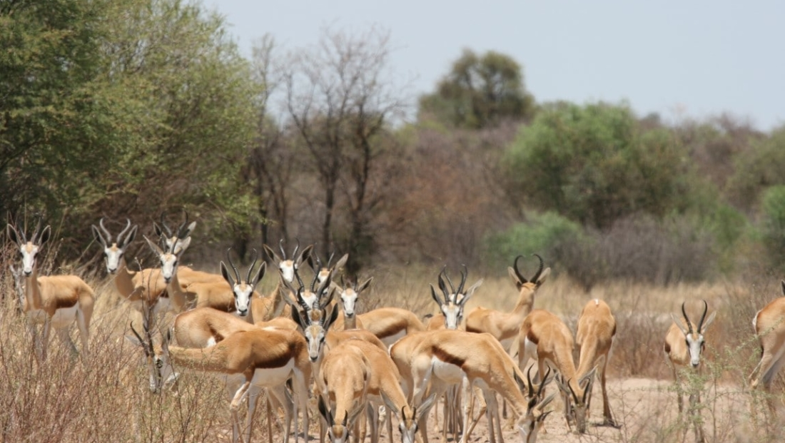 Kalahari - Springbokken op het pad