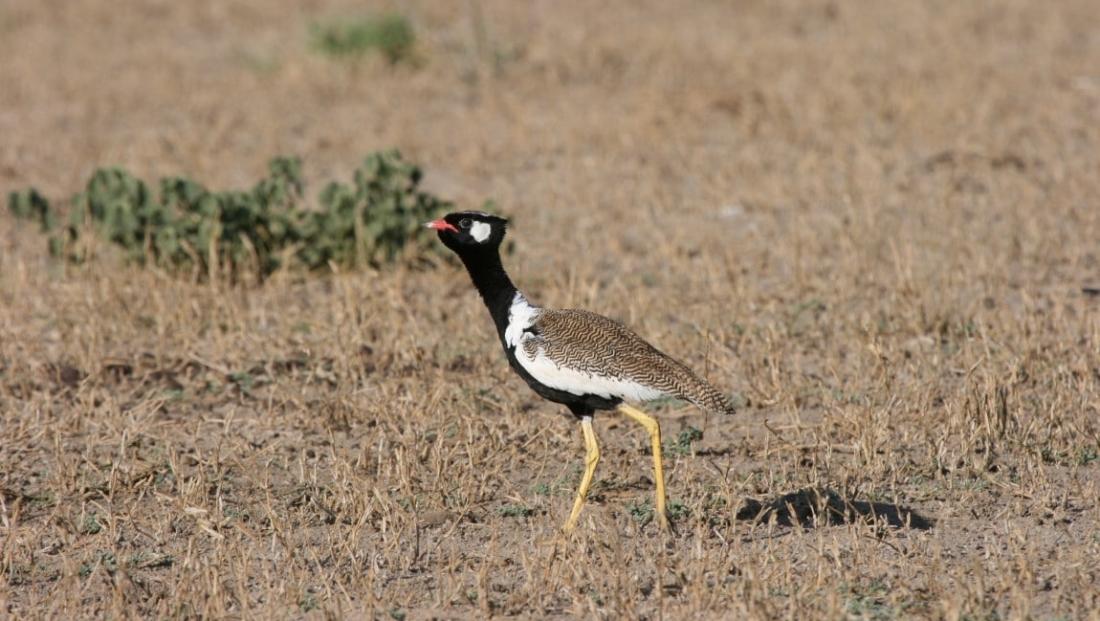 Kalahari - Korhaan