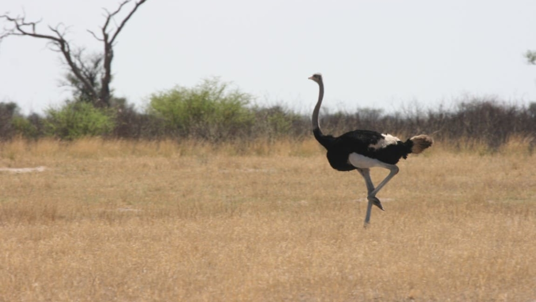 Kalahari - Struisvogel
