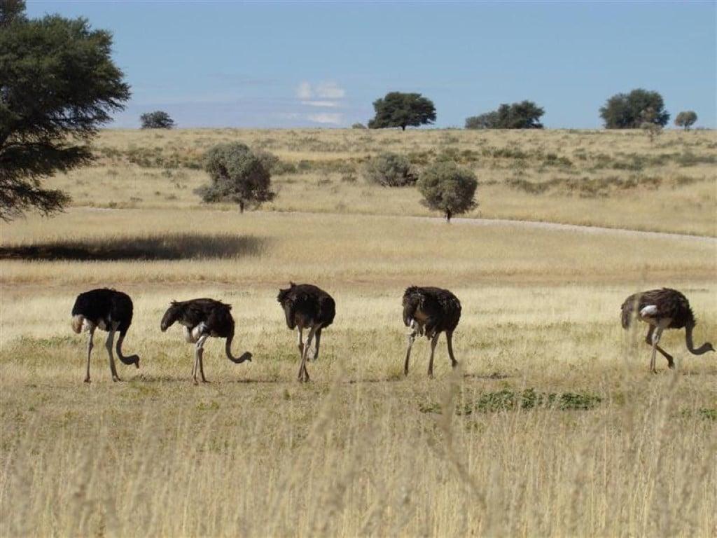 Bezienswaardigheden Zuid-Afrika - Struisvogels in open landschap Kgalagadi Transfrontier Park