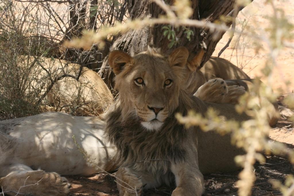 Nieuws Out in Africa - Jonge mannetjesleeuw in Kgalagadi Tranfrontier Park