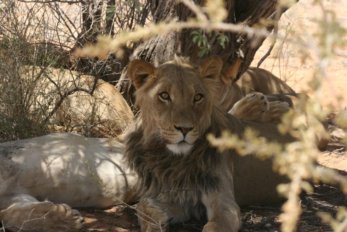 Safari reizen Namibië - Een jong mannetje met het begin van de imposante zwarte manen.