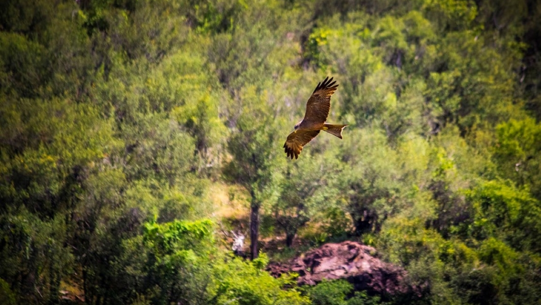 Limpopo National Park - Yellow-billed Kite