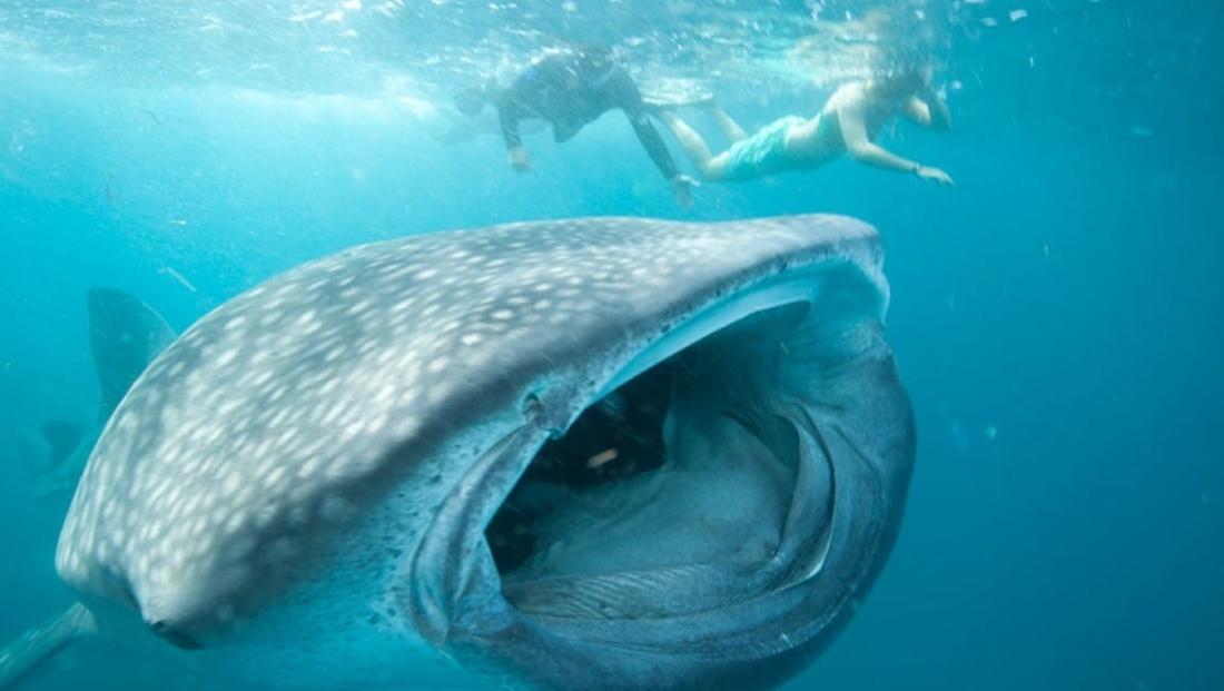 Mozambique - Walvishaai tijdens het snorkelen