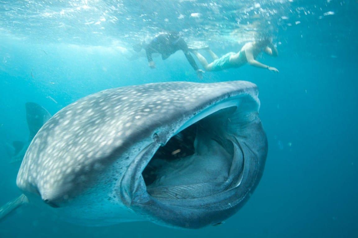 Rondreizen vakanties Mozambique - Walvishaai voor de kust tijdens snorkelen
