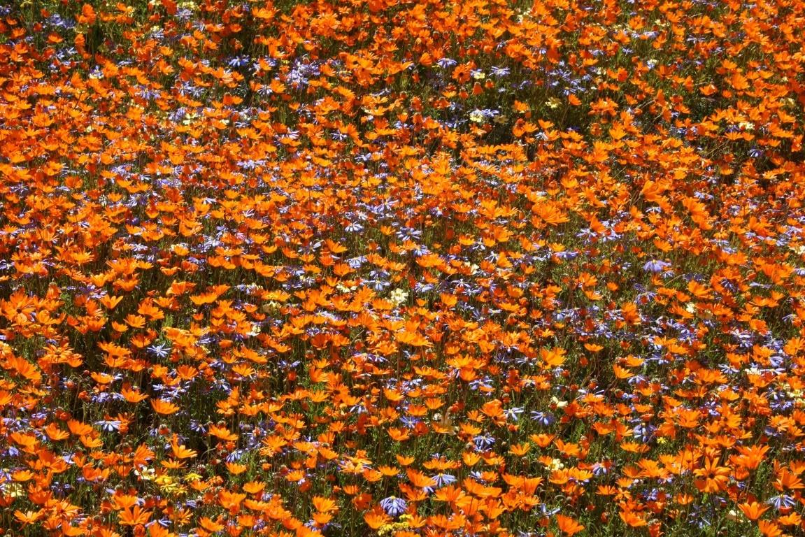 Natuur in Zuid-Afrika - Oranje bloemen West Coast National Park