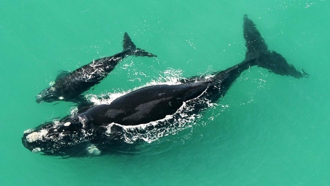 De Hoop Nature Reserve - walvis met jong