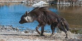 Wilde Hyena Afrika