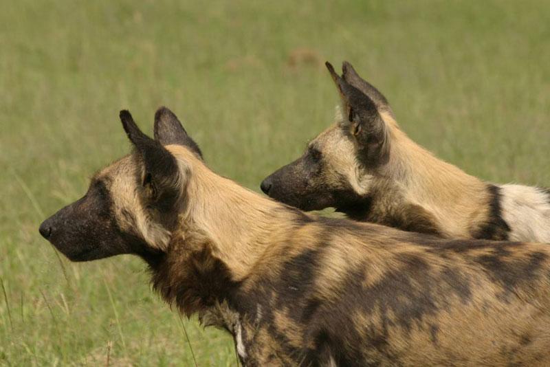 Wilde honden Chobe Elephant Camp