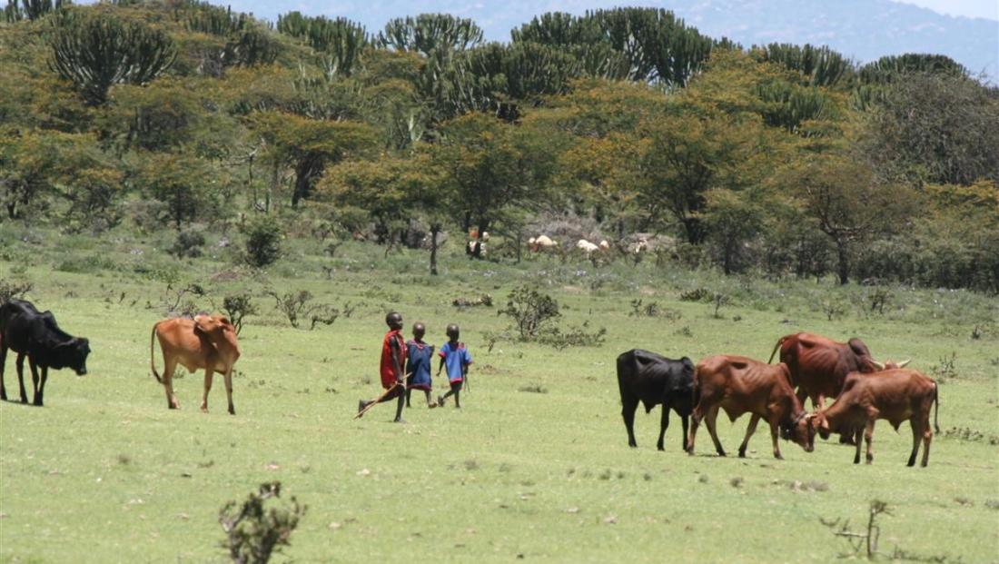 Masaai - kinderen bij koeien