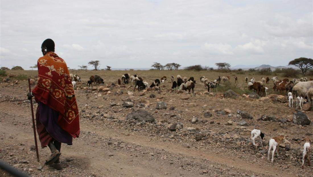 Masaai - koeien