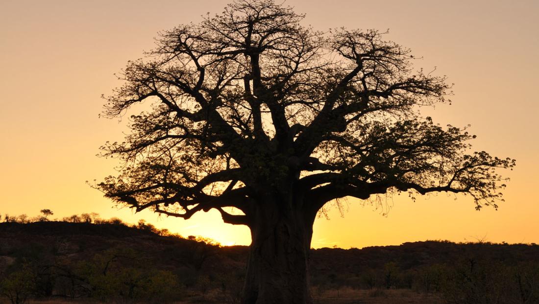 Boom Mapungubwe