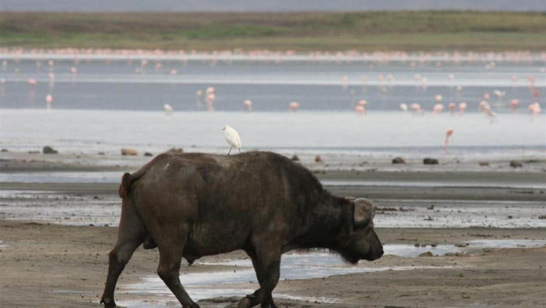 Ngorongoro crater - buffel met vogel op rug