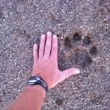 voetafdruk leeuw Afrika