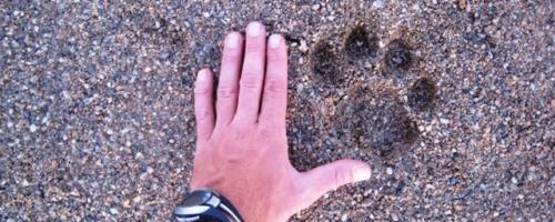 Rangercursus - voetafdruk leeuw