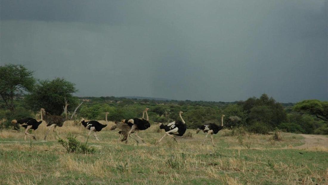 Tarangire NP - struisvogels