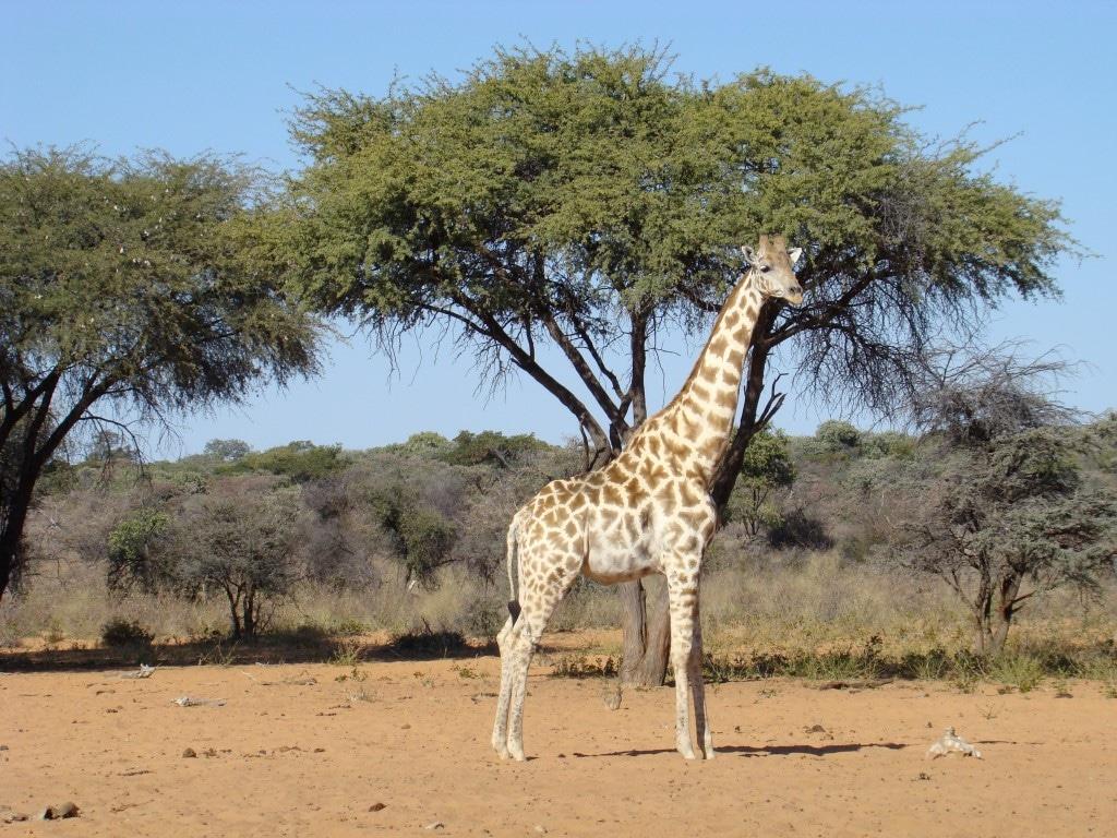 Waterberg National Park - Giraffe bij boom